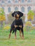 Perro letón en el otoño Imagenes de archivo