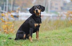 Perro letón en el otoño Foto de archivo libre de regalías