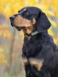 Perro letón en el otoño Fotos de archivo libres de regalías