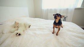 Perro lindo barkling en un cuarto elegante barkling almacen de metraje de vídeo