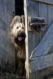 Perro lindo de Briard que mira a escondidas alrededor de puerta de granero Imágenes de archivo libres de regalías