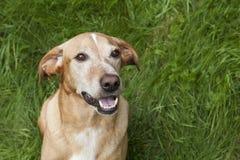 Perro lindo de Brown Imagenes de archivo