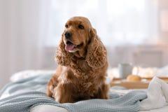Perro lindo de Cocker Spaniel con la manta caliente en cama en casa imágenes de archivo libres de regalías