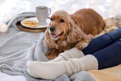 Perro lindo de Cocker Spaniel con la mentira caliente de la manta fotografía de archivo
