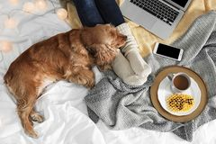 Perro lindo de Cocker Spaniel con la mentira caliente de la manta fotos de archivo libres de regalías