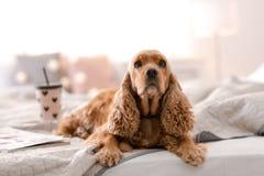 Perro lindo de Cocker Spaniel en cama en casa imágenes de archivo libres de regalías