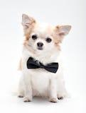 Perro lindo de la chihuahua con la corbata de lazo negra Imagenes de archivo