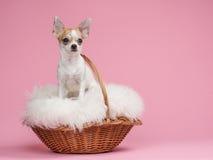 Perro lindo de la chihuahua en una cesta cubierta con paja Fotos de archivo