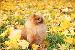 Perro lindo de Pomeranian Perro en parque del otoño Pomeranian en hojas del amarillo del otoño Perro serio Imagen de archivo