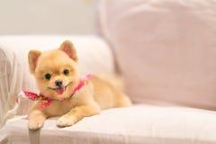 Perro lindo de Pomeranian que sonríe en el sofá con el espacio de la copia, el pañuelo del vaquero o el pañuelo en el cuello Imagen de archivo