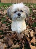 Perro lindo de Shitzu en hojas de la caída Imagen de archivo