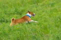 Perro lindo del basenji que galopa en la hierba Fotos de archivo libres de regalías