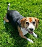 Perro lindo del beagle fotografía de archivo