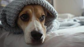 Perro lindo del beagle con los ojos tristes que mienten debajo de una manta azul en la cama, centellando y consiguiendo listos pa metrajes