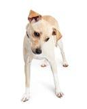 Perro lindo del híbrido de la chihuahua que mira la tierra Fotografía de archivo