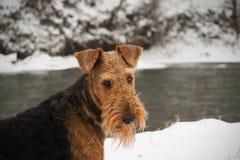 Perro lindo del invierno del terrier del airedale fotografía de archivo