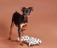 Perro lindo del pinscher Fotos de archivo