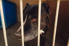 Perro lindo del pitbul en jaula del refugio con los ojos y pointin gritadores tristes Imagen de archivo libre de regalías