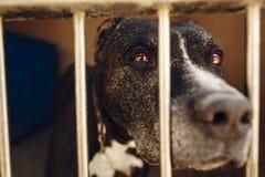 Perro lindo del pitbul en jaula del refugio con los ojos y pointin gritadores tristes Fotos de archivo