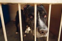 Perro lindo del pitbul en jaula del refugio con los ojos y pointin gritadores tristes Fotos de archivo libres de regalías