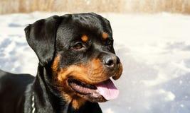 Perro lindo del rottweiler en el fondo de la nieve Foto de archivo