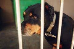 Perro lindo del rotweiler en la jaula con los ojos gritadores, emoción triste del refugio Fotografía de archivo libre de regalías
