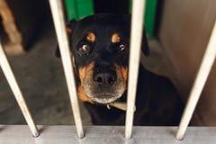 Perro lindo del rotweiler en la jaula con los ojos gritadores, emoción triste del refugio Fotos de archivo libres de regalías