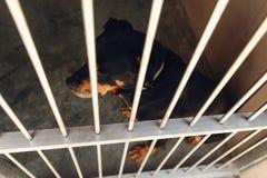 Perro lindo del rotweiler en la jaula con los ojos gritadores, emoción triste del refugio Imagen de archivo