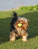 Perro lindo del terrier de Yorkshire con la bola Foto de archivo