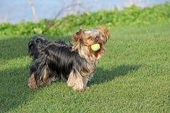 Perro lindo del terrier de Yorkshire con la bola Imagenes de archivo