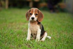 Perro lindo divertido del beagle en parque Imagen de archivo