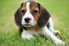 Perro lindo divertido del beagle en parque Foto de archivo libre de regalías