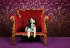 Perro lindo en butaca del terciopelo Fotos de archivo libres de regalías