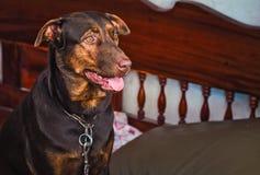 Perro lindo en el sofá Fotos de archivo