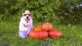 Perro lindo en un sombrero de paja, pila siguiente que se sienta del Corgi Galés de diversas calabazas anaranjadas clasificadas e almacen de metraje de vídeo