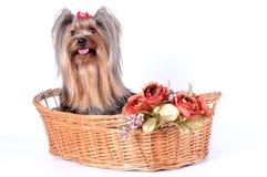 Perro lindo en una cesta aislada en blanco Imagenes de archivo