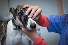 Perro lindo examinado por el veterinario Imágenes de archivo libres de regalías