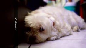 Perro lindo maltés Imagen de archivo libre de regalías