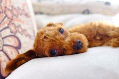 Perro lindo mini Foto de archivo libre de regalías