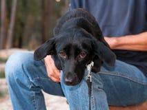 Perro lindo negro en las manos del hombre fotografía de archivo
