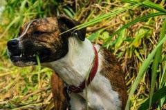 Perro lindo que come la hierba imagen de archivo