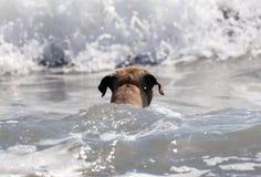 Perro lindo que juega en el océano, las imágenes de la acción del coco de persecución canino en el mar y la playa fotografía de archivo libre de regalías