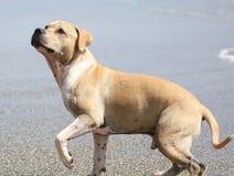 Perro lindo que juega en el océano, las imágenes de la acción del coco de persecución canino en el mar y la playa foto de archivo