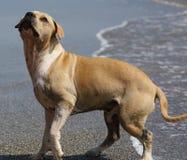 Perro lindo que juega en el océano, las imágenes de la acción del coco de persecución canino en el mar y la playa imagen de archivo libre de regalías