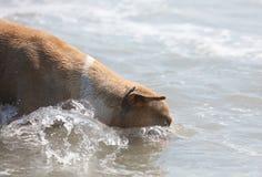 Perro lindo que juega en el océano, las imágenes de la acción del coco de persecución canino en el mar y la playa imagen de archivo