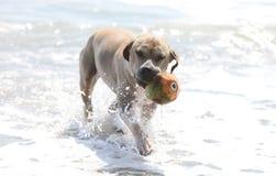 Perro lindo que juega en el océano, las imágenes de la acción del coco de persecución canino en el mar y la playa foto de archivo libre de regalías