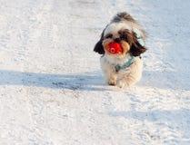 Perro lindo que lleva su bola Imagen de archivo