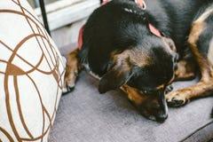 Perro lindo que miente en el sofá gris en café imagen de archivo libre de regalías