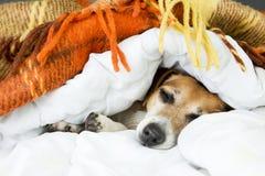 Perro lindo que mira a escondidas hacia fuera de debajo la manta caliente suave Imagenes de archivo