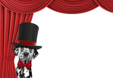 Perro lindo que oculta detrás de la cortina Fotografía de archivo libre de regalías